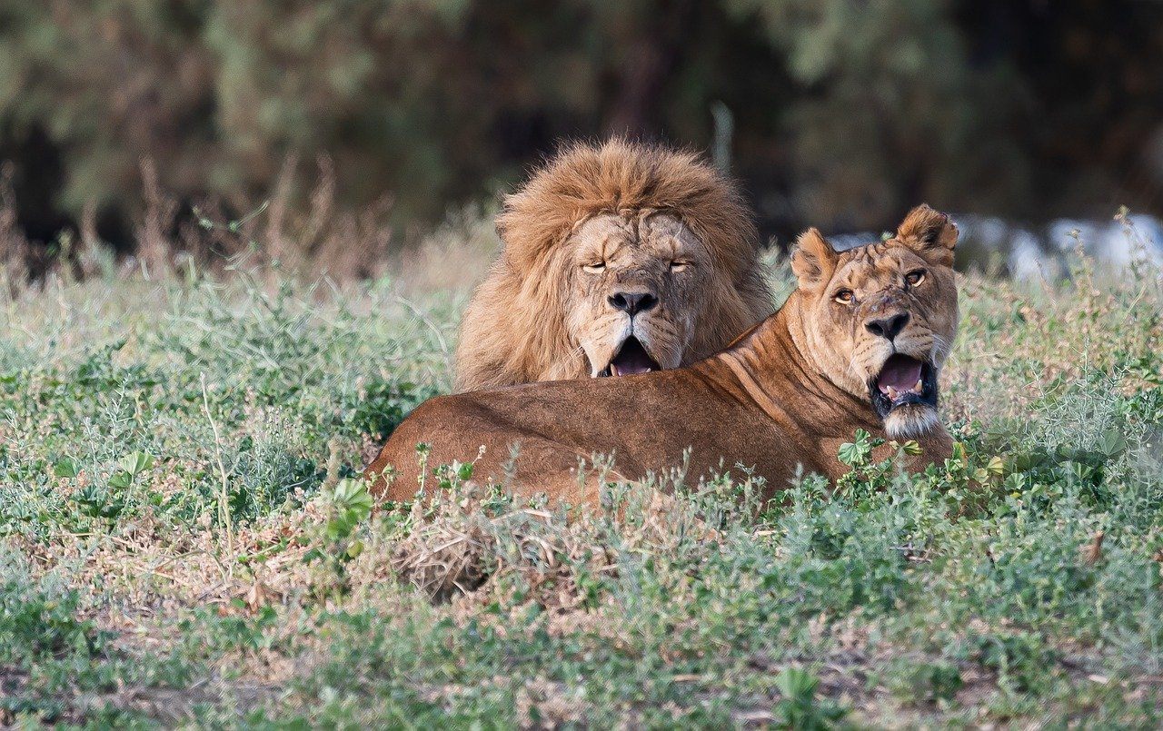 lions, lioness, king